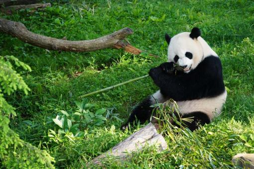 smithsonian-national-zoo-giant-pandas-credit-evan-thornton.jpg